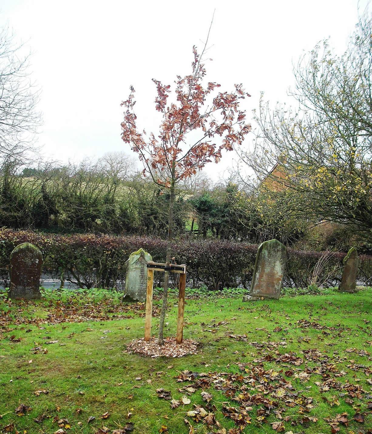 Commemorative Oak Tree